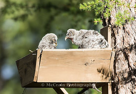 Great Gray Owl, Owlets