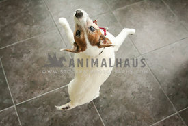 senior jack russell jumping for joy