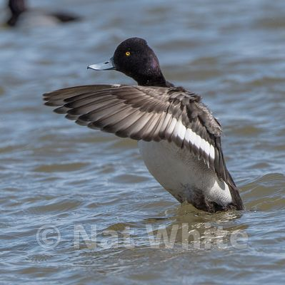 Scaup_-Ducks_at_Cambridge_MD-March_04_2017-60-March_04_2017