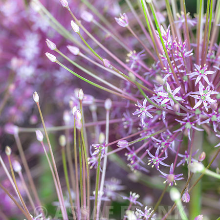 Closeup of Allium flowers