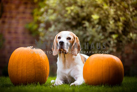 Dog with two Pumpkins