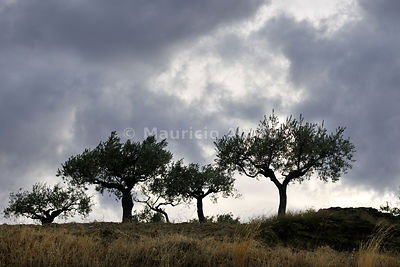 Olive trees in the Douro region. Portugal