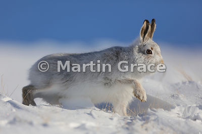 Mountain Hare (Arctic Hare) (Lepus timidus) tiptoeing away in snow, February 13, Strathdearn, Scottish Highlands