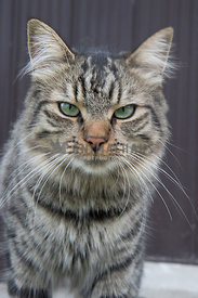 angry looking tabby portrait