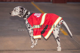 Dalmatian dog wearing a fire chief jacket