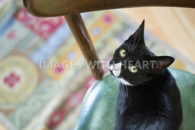 Overhead view of a tuxedo cat on a chair
