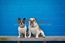 bulldogs sitting on a bench