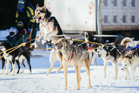 impatient husky jumps up while harnessed to sled dog team