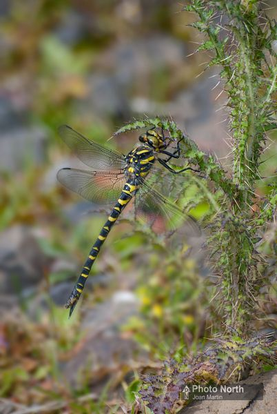 DRAGONFLY 03A  Gold-ringed dragonfly