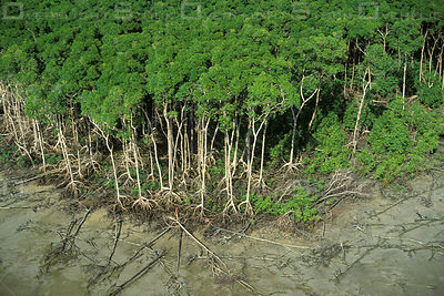 Mangrove Swamp Forest at Low Tide  Atlantic Coast , East of Amazon Estuary, Para State, Brazil.