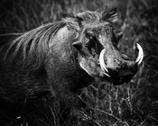 02050-Warthdog_Laurent_Baheux