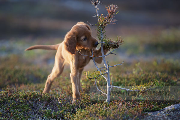 Puppy playing in the gorgeous light of the Midnight Sun
