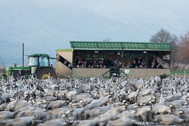 Israeli tourists watching Common Cranes, Grus grus, wintering at  the Hula Lake Park, known in Hebrew as Agamon HaHula in the...