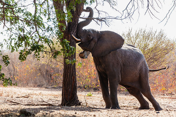 Elephant Shaking Tree to Bring Down Seed Pods