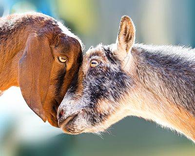 Two goats showing affection