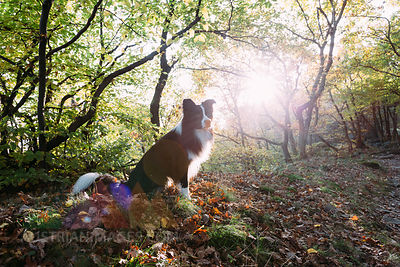 Border Collie sitting on forest soil at backlight