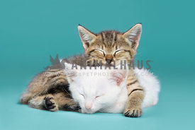 Two kittens sleeping on a blue background