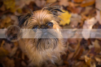 brussels griffons