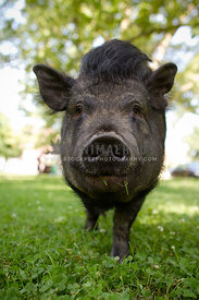 black pig in grass