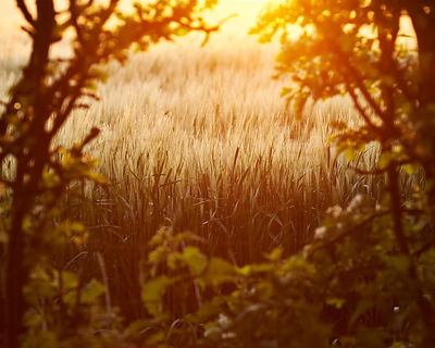 Strong yellow sunlight shining over a barley field and through a Hawthorn Hedge at the side of the road at Badbury Rings near...