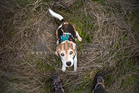 Beagle on hike with owners shoes