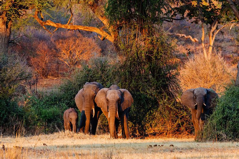 Elephants in Acacia Woodland