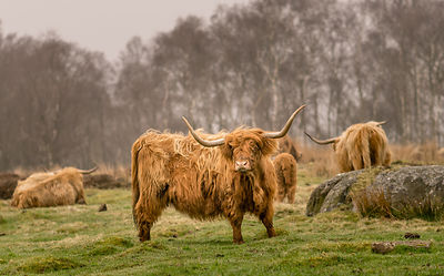 Highland cattle on Jack Flat near Baslow