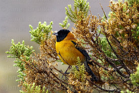 Adult male Black hooded sierra finch (Phrygilus atriceps)