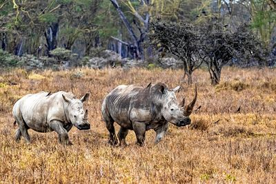 Rhinoceros With Calf in Lake Nakuru