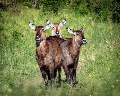 Three Cute Waterbuck Together in Kenya