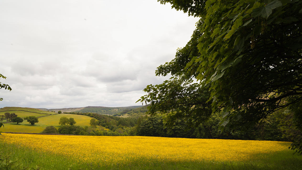 Buttercup field near Abney