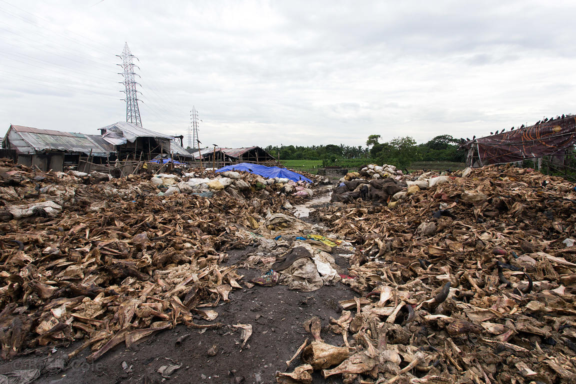 Animal waste parts from slaughterhouses being processed, Shyambadal, Kolkata, India