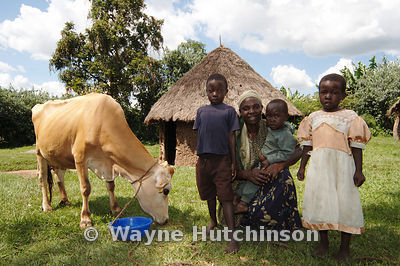 African Mother with young children and cow feeding from plastic bucket Kenya Africa