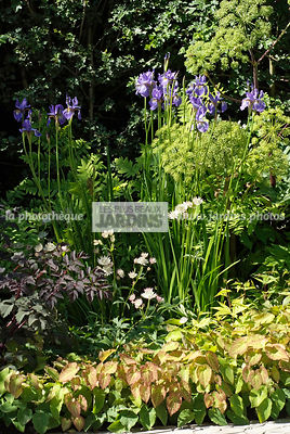 Massif de vivaces : Epimedium ? perralchicum 'Frohnleiten'. Angelica 'Ebony' (feuillage pourpre), Iris x robusta 'Gerald Darby', Astrantia 'White Giant' (astrance blanche), Angelica archangelica (Angélique officinale), Paysagiste : Hugo Bugg, CFS, Anglete