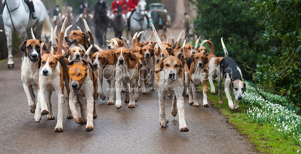 The Belvoir Hunt foxhounds arrive at the meet