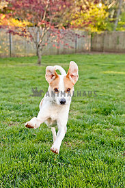 jumping mixed breed mutt dog in backyard with green grass