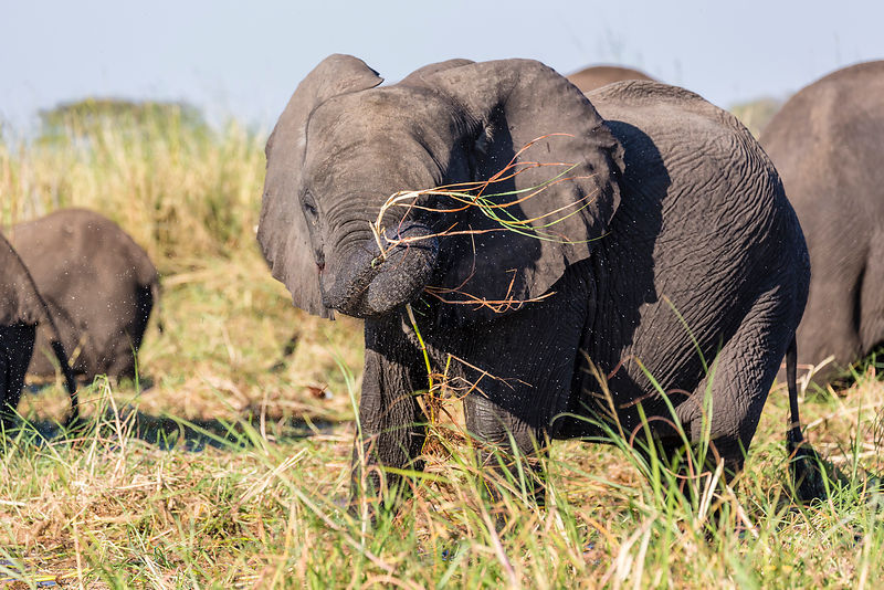 Young Elephant Eating Grass on the Zambezi River Flood Plain