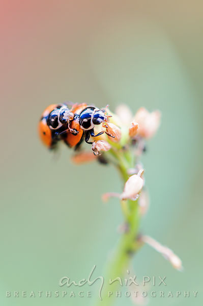Two ladybirds mating on a plant