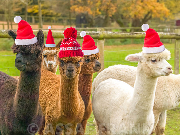 Alpacas with Santa hats