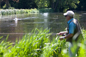Fly fisherman and swan on River Test