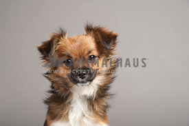 cute long haired chihuahua mix, headshot on a gray studio background