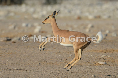 Female Black-Faced Impala (Aepyceros melampus petersi) leaping, Etosha National Park, Namibia