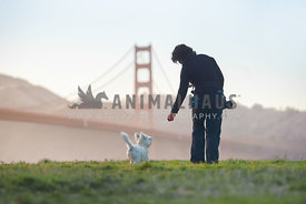 dog photographer leading westie with a treat in front of the Golden Gate Bridge