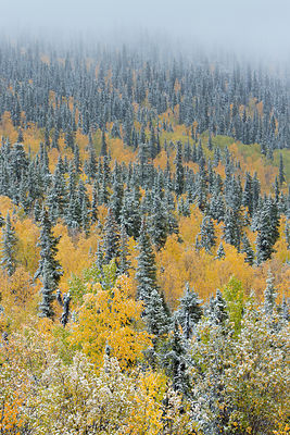 Quaking aspen trees (Populus tremuloides) and conifers with dusting of snow, Dome Hill above Dawson City, Yukon Territories, ...