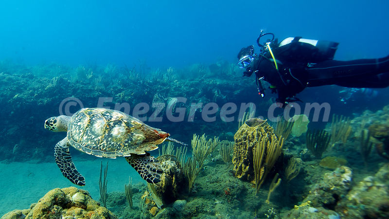 Diving with turtle in Cousteau reserve