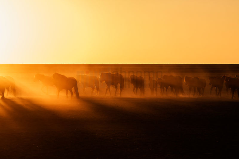 Hourses Silhouetted on the Mongolian Steppe at Sunrise