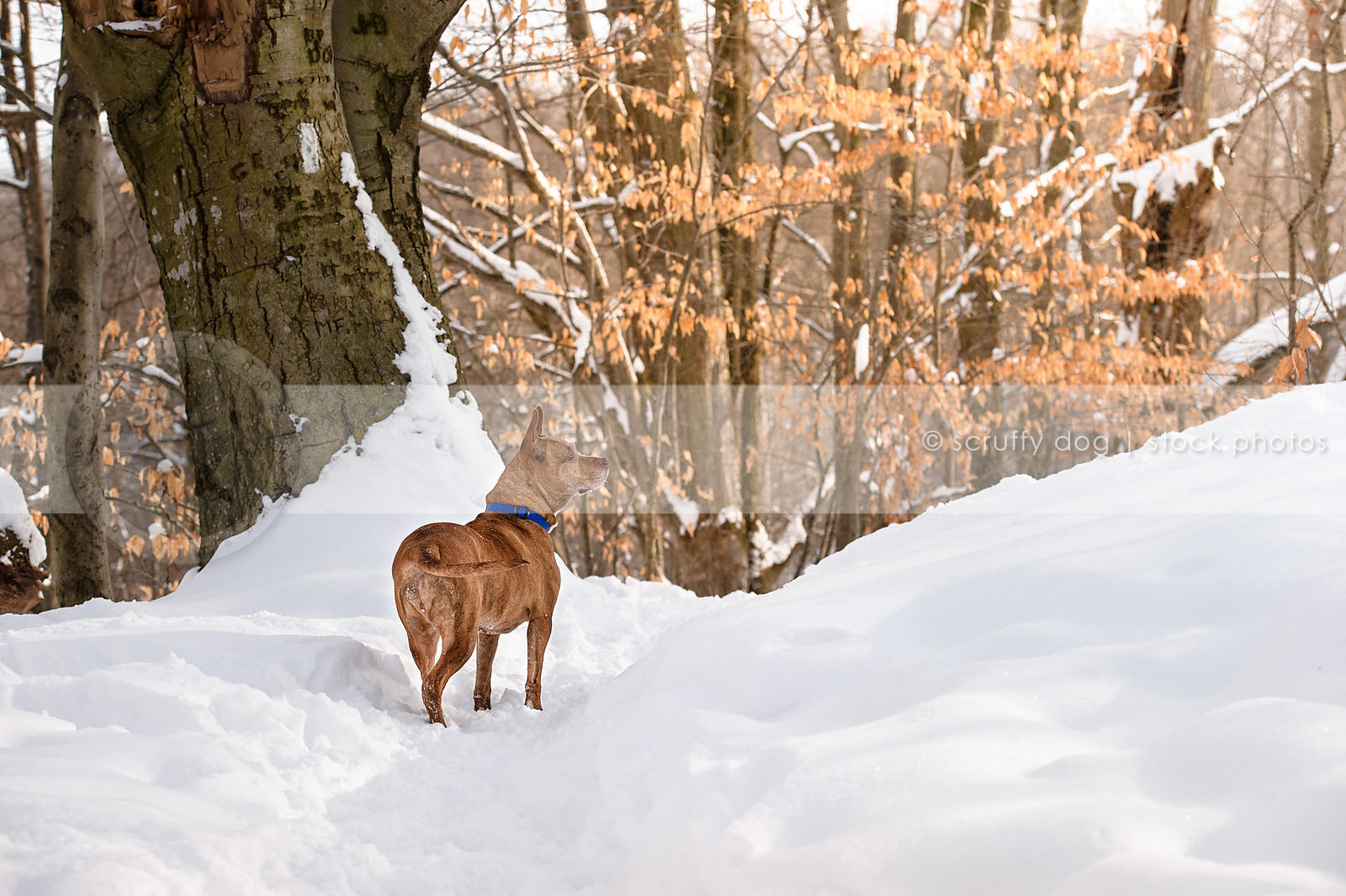 Stock Photo beautiful brindle pitbull standing in winter forest