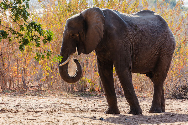 Elephant Eating Acacia Seed Pods