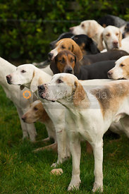 Quorn Hunt hounds at the meet