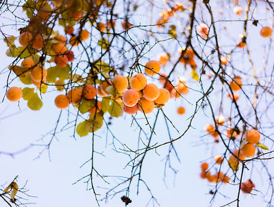 Apricots in December
